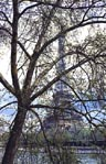 thumbnail of Eiffel Tower through tree, no. 1